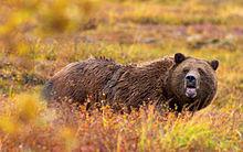 Grizzly Bear Denali Crop