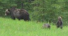 Grizzly mother with her cubs