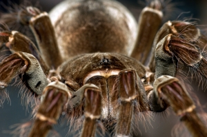 Large hairy Spider called Goliath