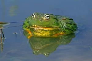 Pig Nosed Frog
