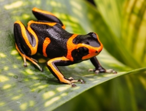 Orange and black Colored Frog