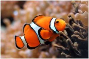 Cute Red And White Stripe Fish Which is called Clown Fish