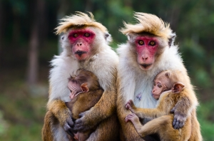 A family of Monkeys Together