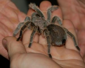 A big Tarantula on a persons palm