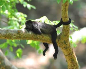 A Little Black Monkey Lying on a Tree