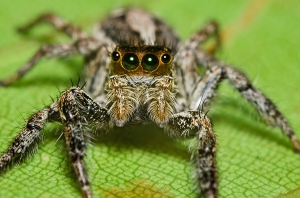 Jumping Spider on a Green Leaf (macro)