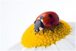LadyBug  on the stamen