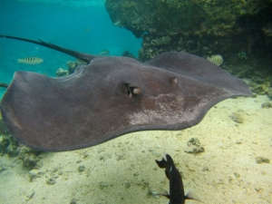 Stingray Swimming Under The Ocean