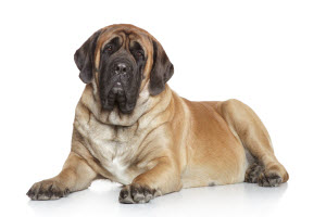 A Big English Mastiff  Dog Sitting