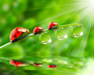 Family of Ladybugs Walking in a Leaf