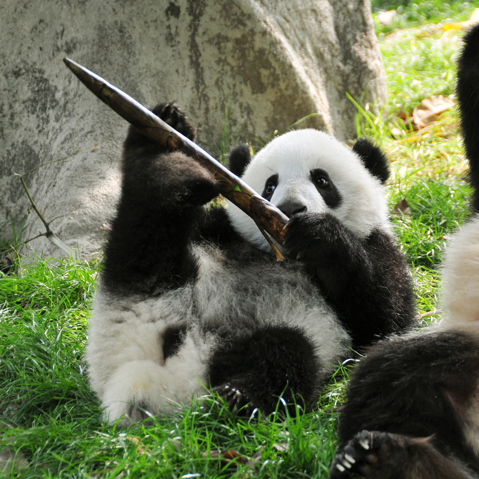 Giant Panda Cubs Playing A Reading Place – Le...