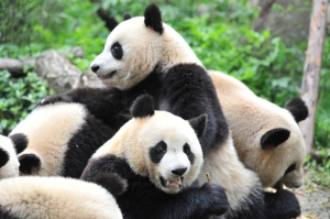 Group of Giant Panda Bears