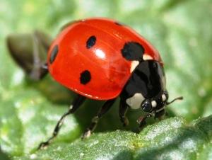 Ladybug Eating A leaf