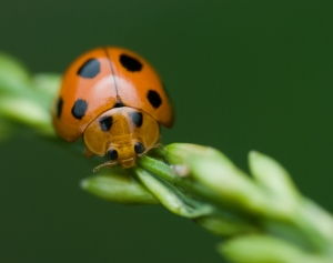 Orange Ladybug with Black Spots