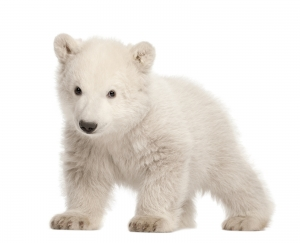 White Polar Bear Cub Walking