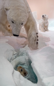 Polar Bear Hunting a Seal under the Ice