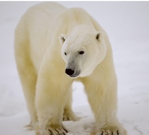 Polar Bear With Yellow Furr in the snow