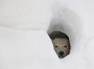 The Polar Bear in a Den and Waiting for Food