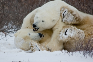 Polar Bears Wrestling Each Other in the Snow
