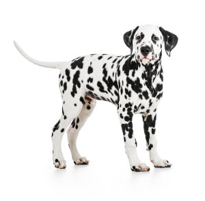 A Big Standing Dalmatian Dog