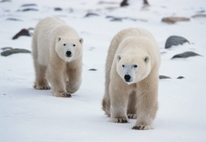 Two Polar Bears Walking and Looking for Foods
