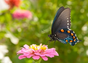 Beautiful Butterfly in a Pink Flower