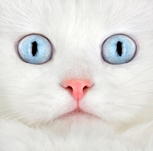 White Siamese Cat With Big BLue Eyes