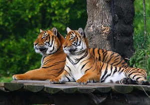 A Pair of Tiger Resting Together