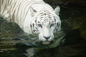 Bengal Tiger Swimming
