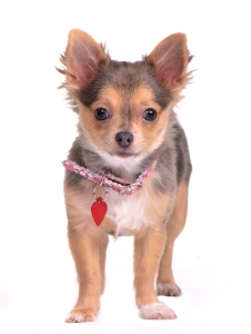 Chihuahua puppy standing with collar and name tag isolated