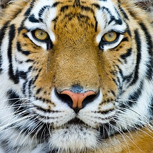 Close Up View of a Big Tiger
