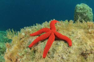 Paddle Fin- Sea star