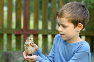 A young Boy Holding A Chick