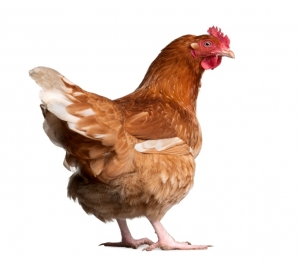 A hen Showing Her Back
