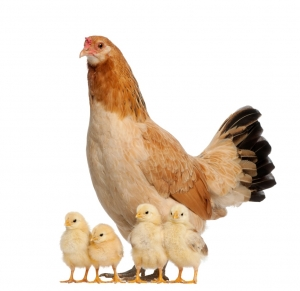 A Hen With Her Little Chicks