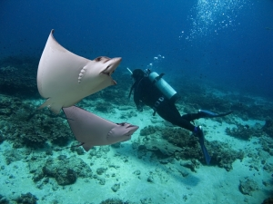 Giant Rays Swimming And Gliding With the Scuba Diver