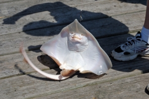 A Stingray Caught By a Human