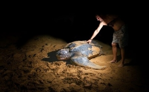 A man touches a large leatherback sea turtle