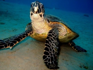 A Portrait of a Hawksbill Turtle