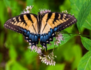 A Real Shallowtail Butterfly Resting on a Flower_28535501_m