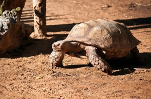 A Walking Desert Tortoise
