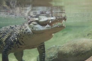 Crocodile under water