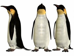 Different Angle Views of an Emperor Penguin