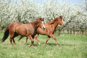 The Quarter Horse Running together