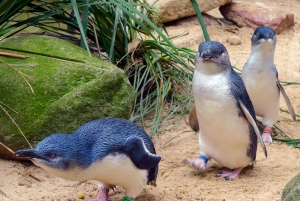 Three Very Cute Australian Penguins