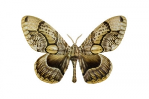 Tiger Faced Brahm Moth 45484966