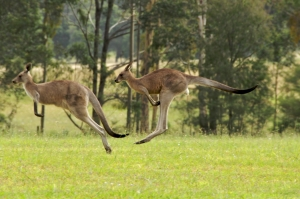 Two Kangaroos Jumping Together