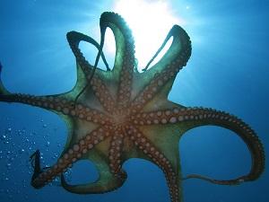 A Huge Octopus