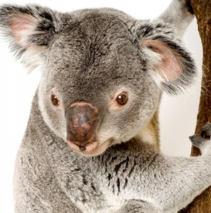 A Portrait Of A Big Koala