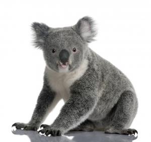 A Koala Sitting Down